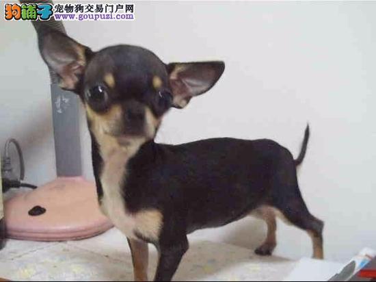 多种颜色的哈尔滨小鹿犬找爸爸妈妈假一赔万签活体协议4