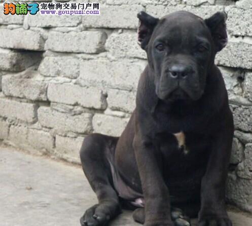武汉繁殖基地出售多种颜色的卡斯罗犬当日付款包邮1
