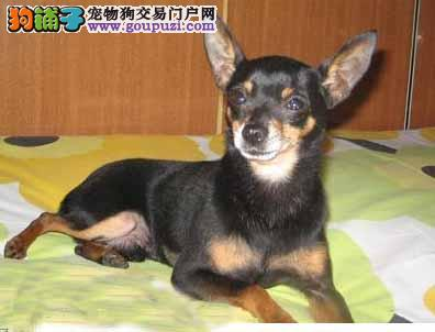 多种颜色的哈尔滨小鹿犬找爸爸妈妈假一赔万签活体协议3