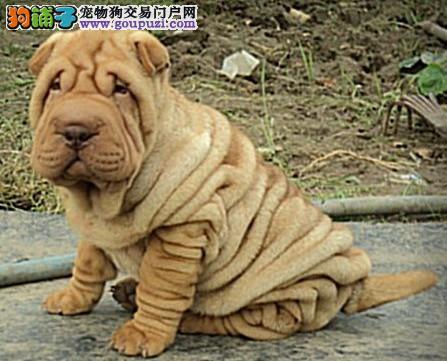 苏州市出售沙皮狗 满身褶皱惹人爱 可视频看狗 包售后