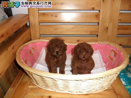 茶杯犬正规犬舍繁殖、诚信交易、纯种犬、可签协议