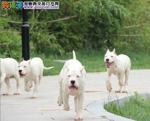 正规狗场,纯种杜高三月龄公母全有 实行三包