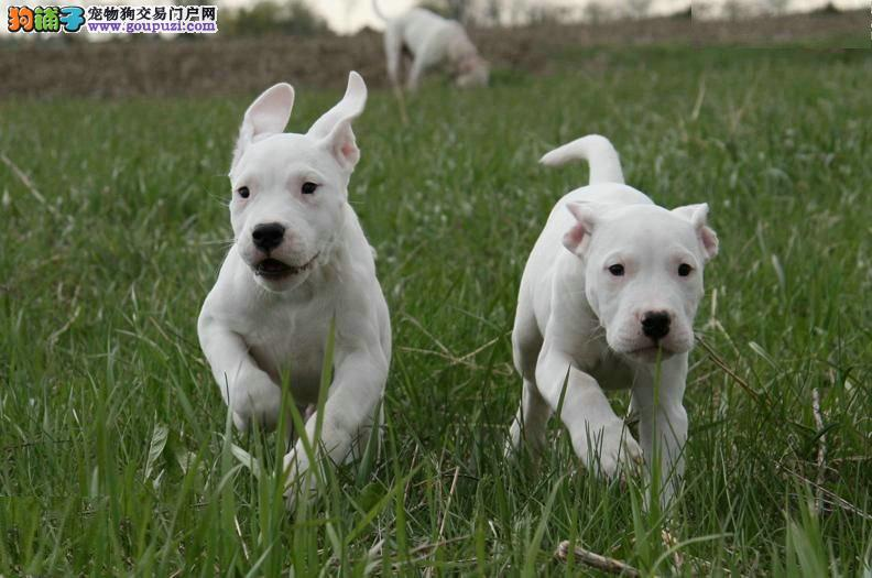 纯种阿根廷杜高犬狩猎犬猛犬幼犬活体