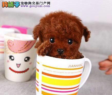 茶杯犬幼犬出售在合肥哪里有卖长不大的口袋犬图片