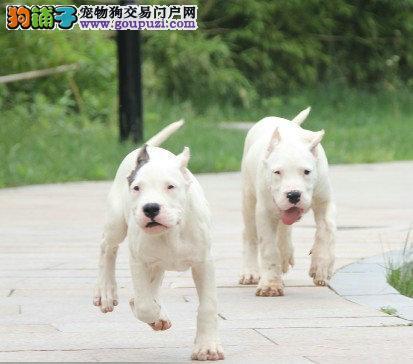 100%纯种健康的淮安杜高犬出售微信视频看狗