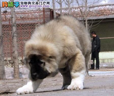 放养狗狗危害大 室外饲养高加索犬会有哪些危险