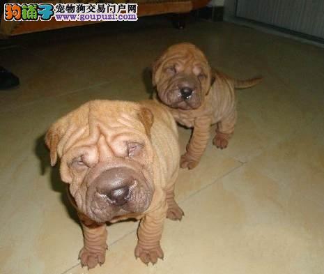 纯种犬繁殖基地出售纯种沙皮犬健康质保签署协议