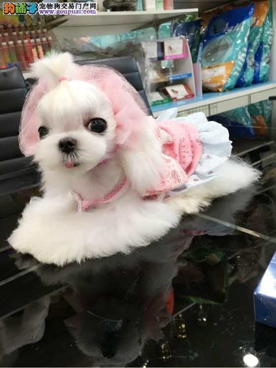 双血赛级马尔济斯犬幼犬出售 公母均有保障健康可挑选