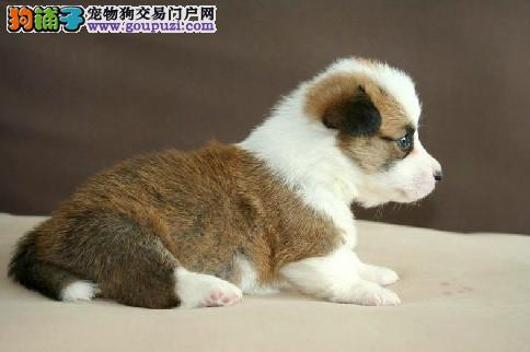 纯种柯基犬 包三个月健康 两色三色都有 价格优惠