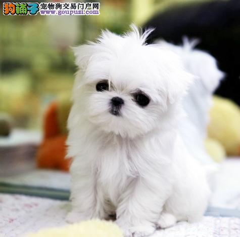 石家庄出售纯种马尔济斯犬 超级漂亮赛级品质