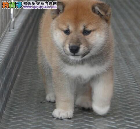 广州售精品柴犬幼犬 日系柴犬疫苗驱虫已做可视频