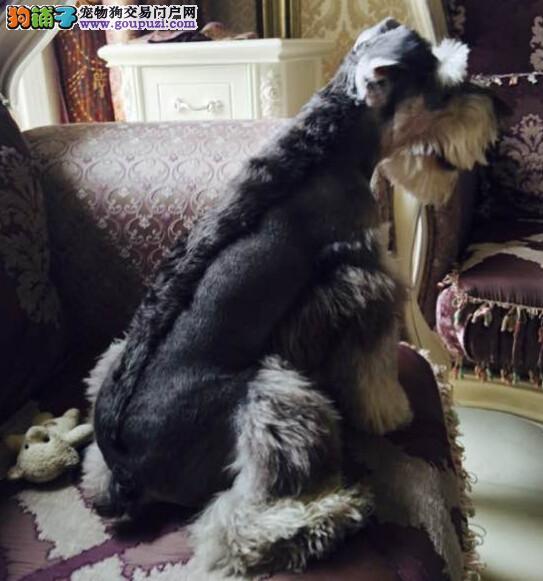 高品质的赛级雪纳瑞幼犬出售了 疫苗做完 质量三包1