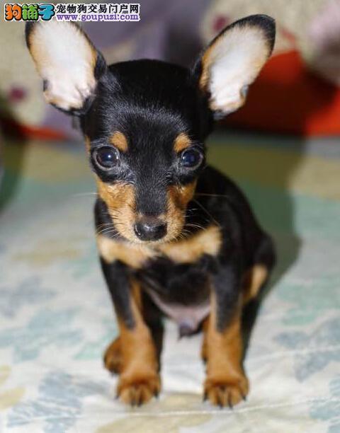 极品 小鹿犬 保证 纯种健康 CKU国际认证犬舍
