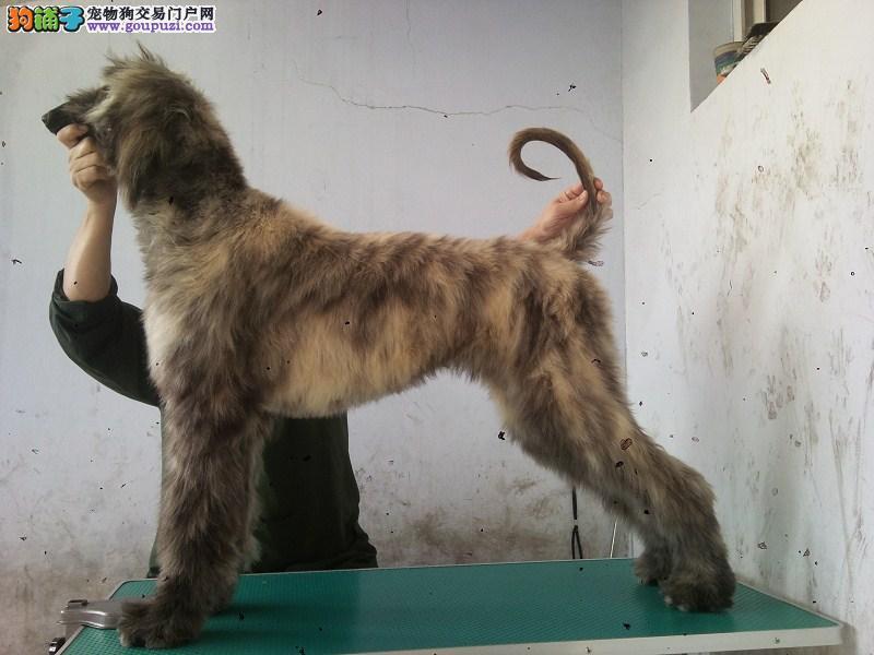 福州出售犬种阿富汗猎犬、全国发货包半年健康