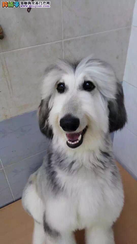 出售阿富汗猎犬颜色齐全公母都有提供护养指导4