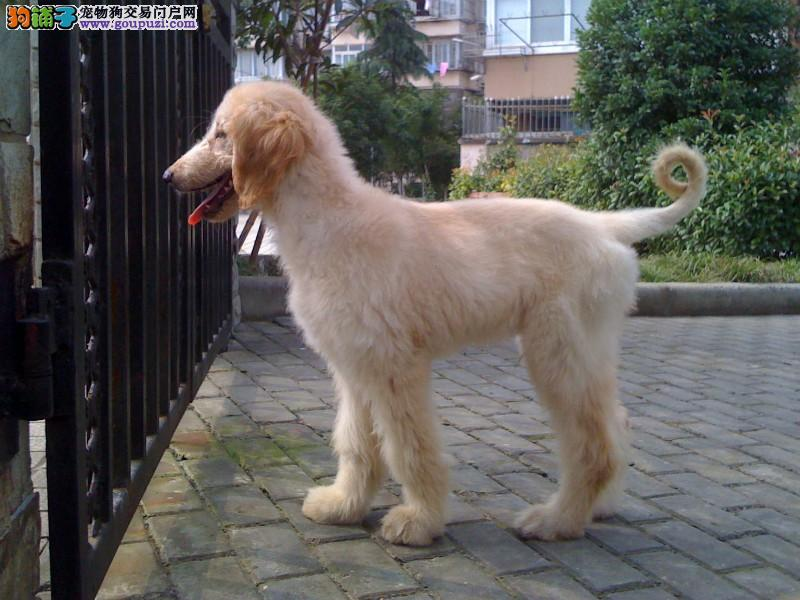 出售阿富汗猎犬颜色齐全公母都有提供护养指导2