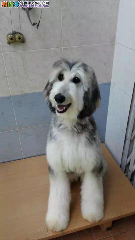 出售阿富汗猎犬颜色齐全公母都有提供护养指导3
