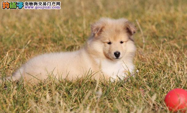 喜乐蒂鹰潭CKU认证犬舍自繁自销价格美丽非诚勿扰