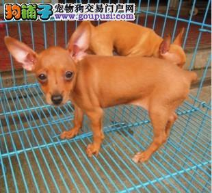家养多只南昌小鹿犬宝宝出售中支持全国空运发货