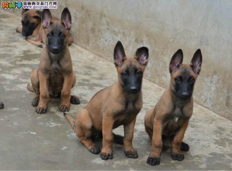 武汉自家狗场繁殖直销马犬幼犬签署各项质保合同3