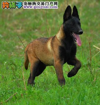正规犬舍高品质马犬带证书请您放心选购