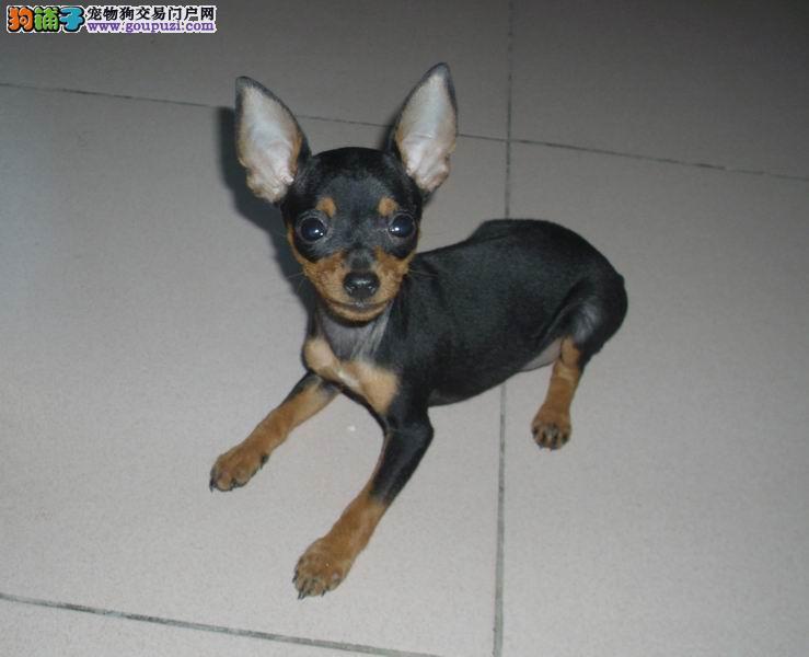 热销小鹿犬颜色齐全可见父母微信咨询看狗狗照片