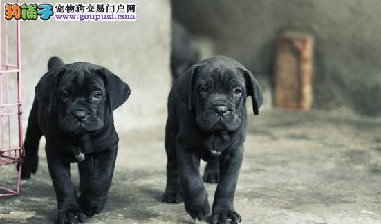 南宁犬舍直销纯种卡斯罗幼犬意大利进口种犬优质护卫犬