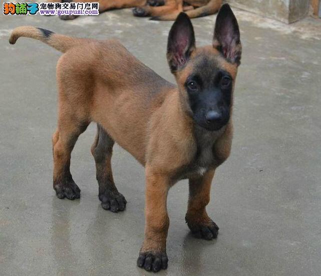 自家繁殖的纯种马犬找主人签订终身协议