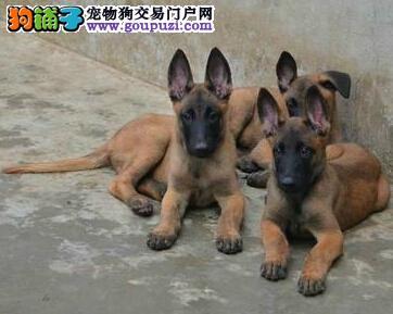 高品质马犬幼犬出售 终身质保 质量三包 带证书可刷卡