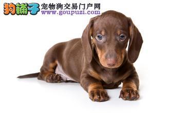 优质腊肠犬 疫苗驱虫完成 落地质量保证一年 放心购