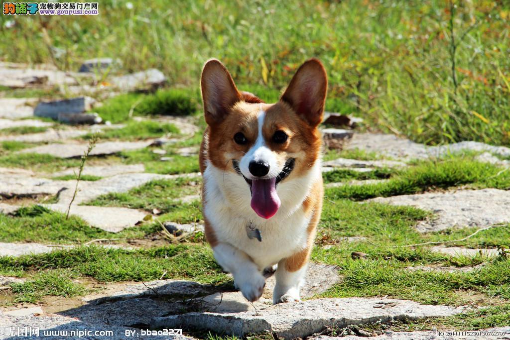 重庆哪里出售家养柯基幼犬纯种的包健康可上门看狗