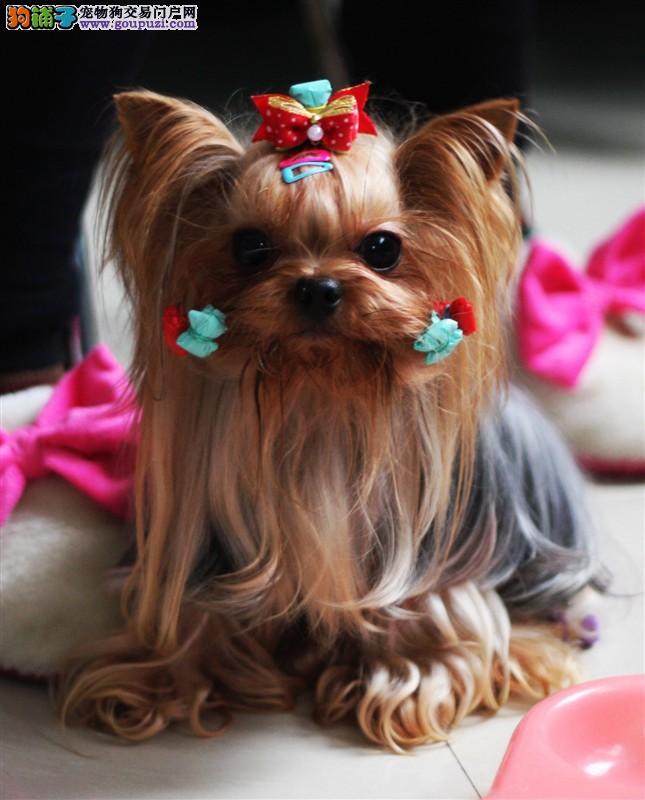 高品质约克夏犬出售 颜值高外形可爱 包纯包健康