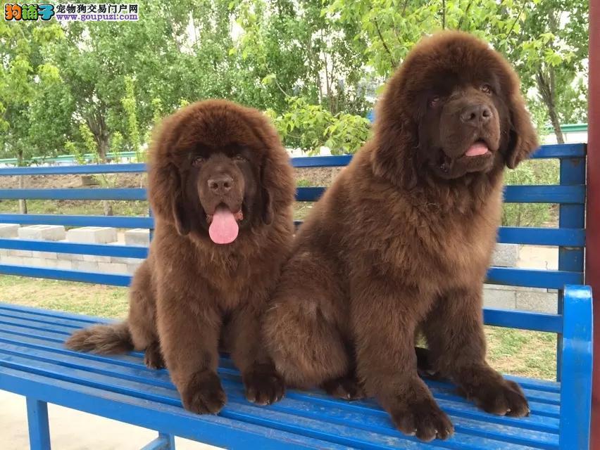 出售纯种健康的纽芬兰犬幼犬价格美丽非诚勿扰2