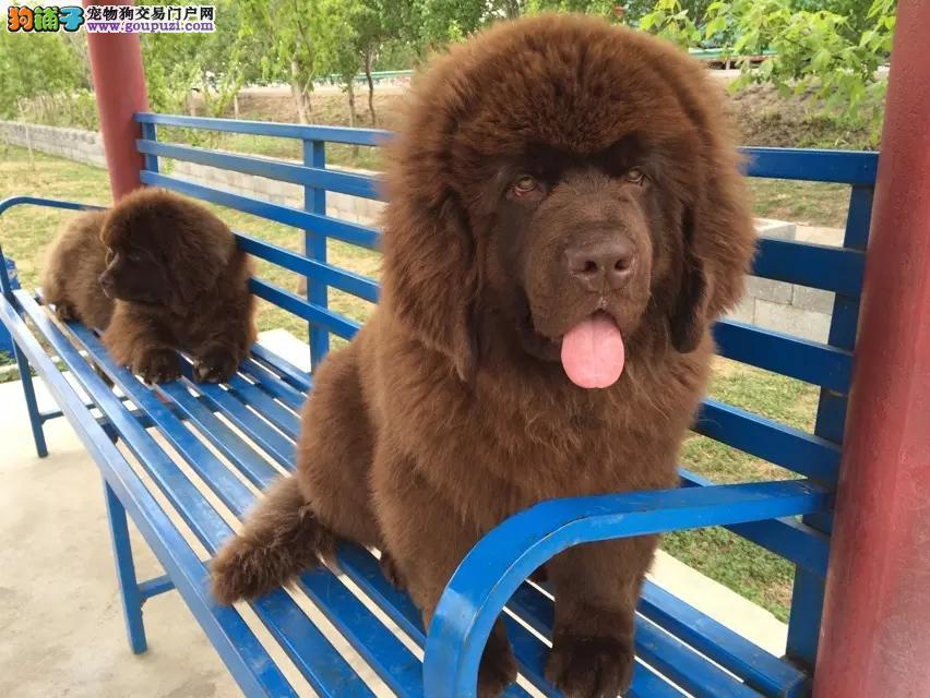 出售多只优秀的纽芬兰犬成都可上门金牌店铺有保障1