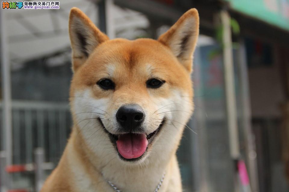 咸阳售纯日系血统柴犬种犬全部国外引进幼犬多只可挑选