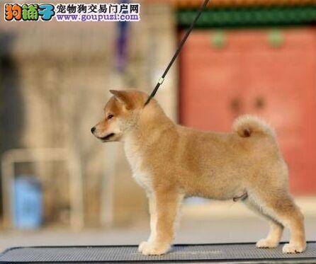 临汾出售日本纯种柴犬 动作敏捷聪明欢迎上门挑选