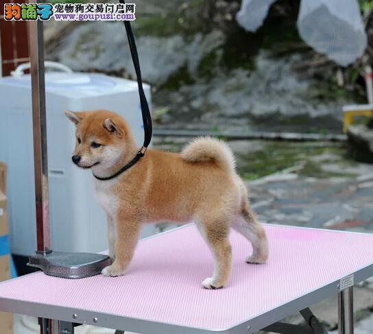 北京售忠诚漂亮柴犬日系柴犬 疫苗齐全品相好