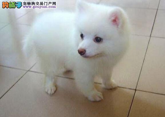 CKU认证犬舍 专业出售极品 银狐犬幼犬欢迎爱狗人士上门选购