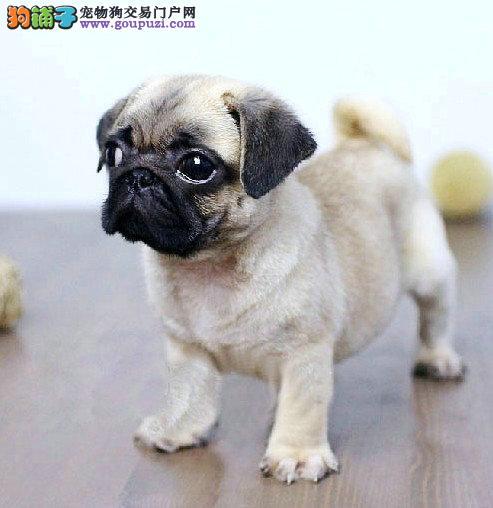 上海售纯种巴哥犬 八哥犬三个月包退包换签协议