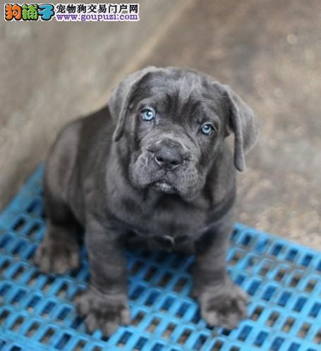 专业繁殖基地出售精品卡斯罗幼犬图片
