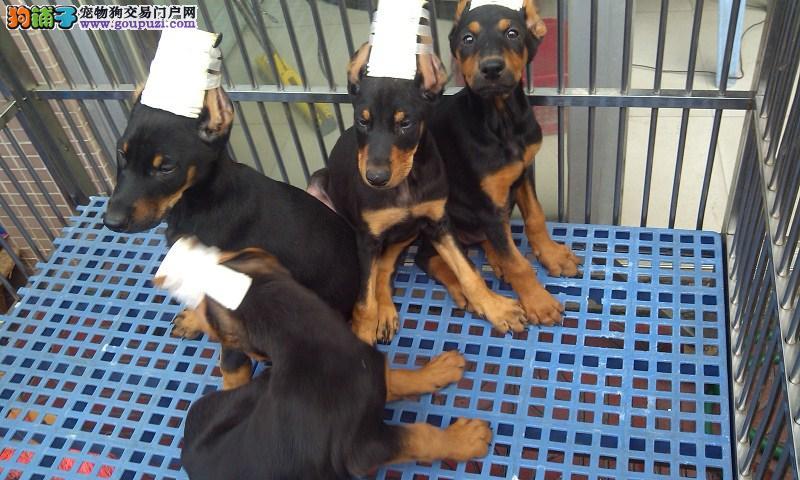 出售纯种杜宾犬 守护犬 警卫犬 血统纯正