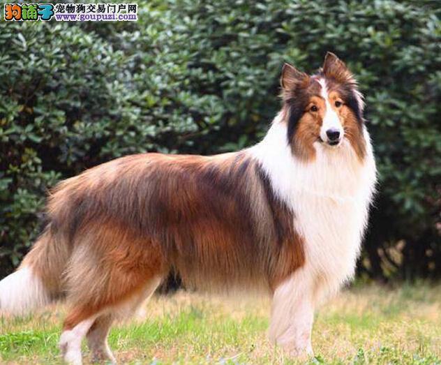 买纯种 冠军级苏牧犬三年联保签协议 赠狗狗户口