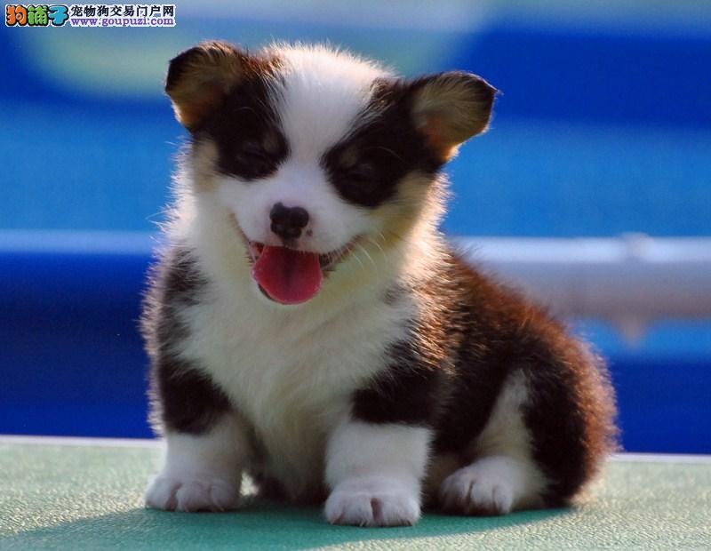 纯种短腿小柯基犬出售 自家繁殖全国包邮 签售后协议