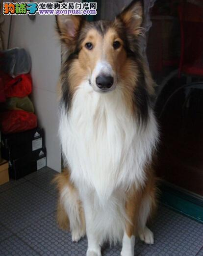 冠军级血系苏牧低价出售 购买可正规购犬签订协议
