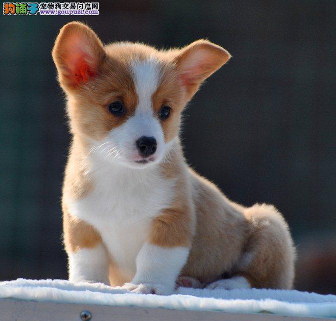 荆州精品漂亮黄白色三色矮脚小柯基犬出售包纯健康售后