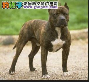 郑州正规犬舍高品质比特犬带证书价格低廉品质高