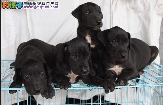出售多种颜色天津纯种大丹犬幼犬市内免费送货