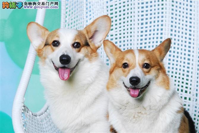CKU认证/犬舍直销柯基犬/质量三包/送宠物用品