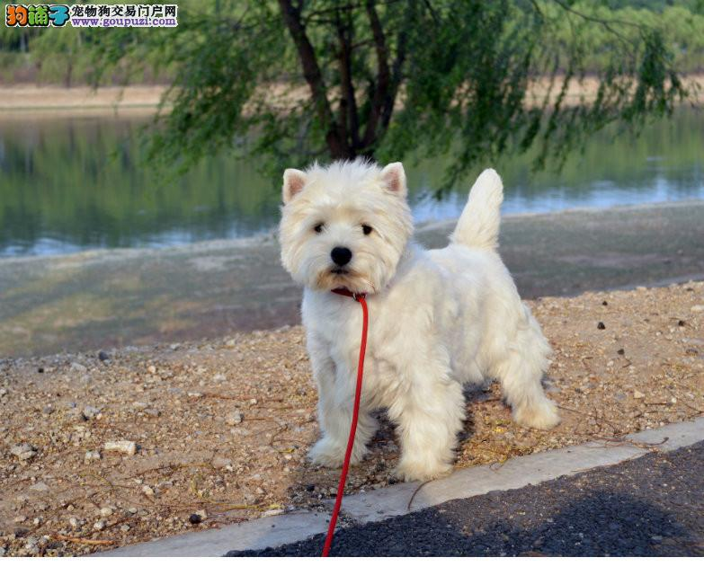 赛级西高地幼犬 保证血统纯度 可送货上门2