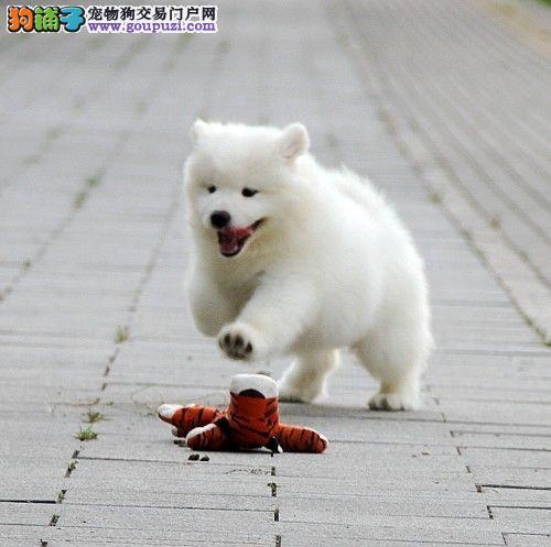 保定繁殖基地哪里有卖三个月的萨摩耶幼犬 大毛量完美品相